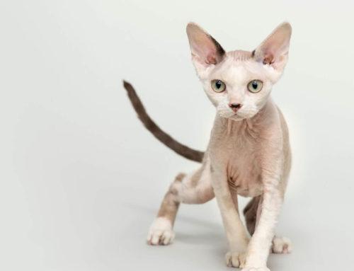 Las 5 razas de gato más extrañas del mundo y sus características