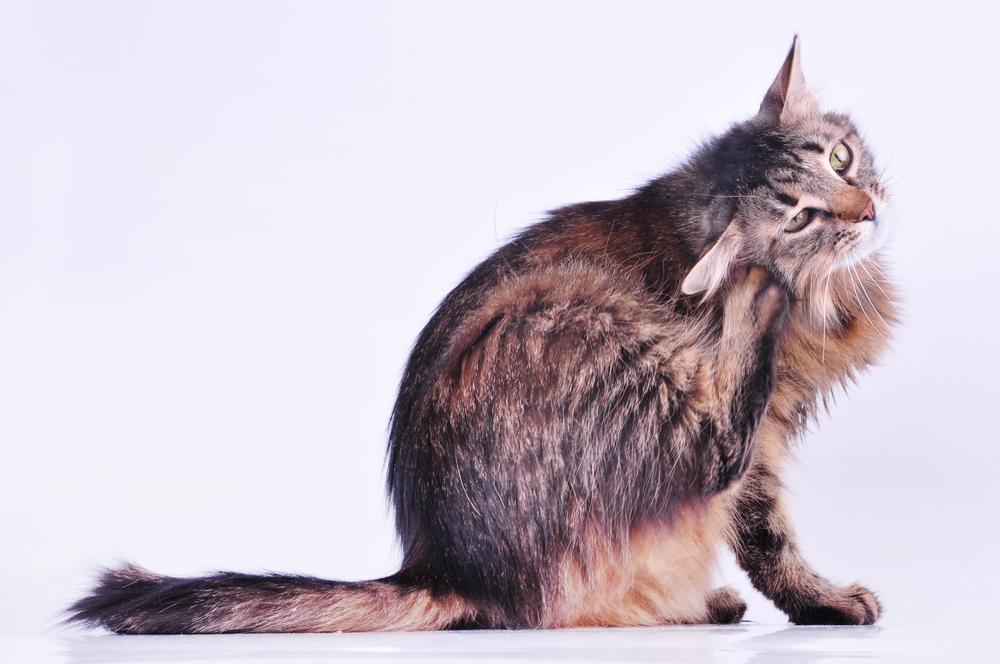 3 consejos sobre cómo desparasitar un gato en casa